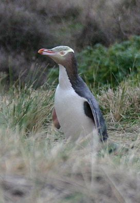 Yellow-eyed Penguin.jpg