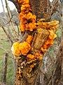 Yellow Brain Fungus (Tremella mesenterica) - geograph.org.uk - 932380.jpg