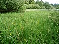Yellow Iris, Crombie Country Park. - geograph.org.uk - 470529.jpg