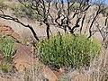 Yellow Milkbush (Euphorbia mauritanica) (32733977045).jpg