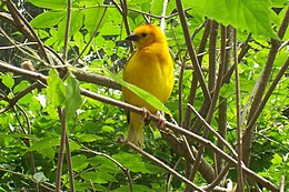 Yellow african bird at binder park zoo.jpg