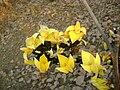 Yellow butea.JPG