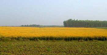 Yellow field in India - Yellow spreadout.jpg