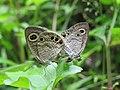 Ypthima huebneri – Common Four-ring mating 08.jpg