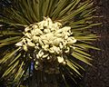 Yucca Brevifolia 03 (7067618095).jpg