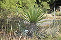 Yucca schidigera at Regional Parks Botanical Garden.jpg