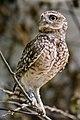Zürich Zoo burrowing owl (16195627219).jpg