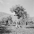 Zeer oude olijfboom in een boomgaard, Bestanddeelnr 255-4287.jpg