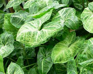 <i>Syngonium podophyllum</i> species of plant