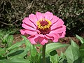 Zinnia from Lalbagh flower show Aug 2013 8630.JPG