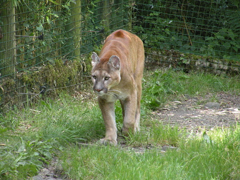 """Zoo de Jurques - Puma 02"" by Chatsam - Own work. Licensed under CC BY-SA 4.0 via Wikimedia Commons - https://commons.wikimedia.org/wiki/File:Zoo_de_Jurques_-_Puma_02.JPG#/media/File:Zoo_de_Jurques_-_Puma_02.JPG"