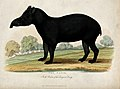 Zoological Society of London; a tapir. Coloured etching. Wellcome V0023148.jpg