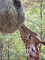 Zsiráf - Giraffe in the Szeged Zoo - panoramio.jpg
