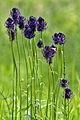 Zwartblauwe rapunzel - Nationaal Park Drentsche Aa.jpg