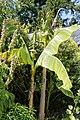 'Musa basjoo' Victorian garden Quex House Birchington Kent England.jpg