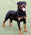 (03) Rottweiler 5829569485 22e037809a o.jpg
