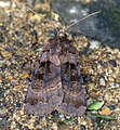 (2122) Purple Clay (Diarsia brunnea) (6038747825).jpg