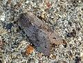 (2185) Lead-coloured Drab (Orthosia populeti) (7025195437).jpg