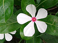 (Catharanthus roseus) flower at a colony in Vizianagaram 01.jpg