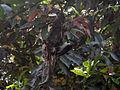 (Leptocoma zeylonica) Purple rumped Sunbird nest 01.JPG