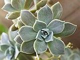 (MHNT) Graptopetalum paraguayense - leaves.jpg