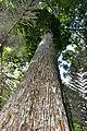 Árvore Adulta. no Parque Nacional do Monte Páscoal.jpg