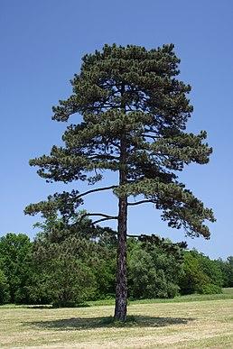 Habitus: 10-20 m velký strom, s jedním průběžným kmenem a kuželovitou.