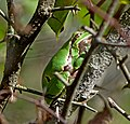 Восточная квакша - Hyla orientalis - Oriental Tree Frog (Shelkovnikov's Tree Frog) (37798327746).jpg
