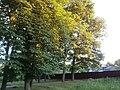 Група вікових дубів, Чернігівська область, місто Борзна.jpg