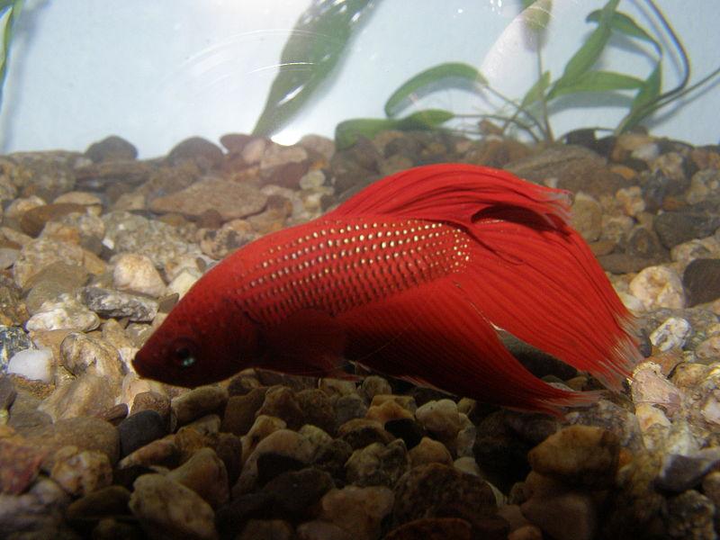 File:Декоративна рибка Бета (Betta).jpg