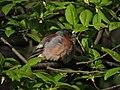 Зяблик. Измайловский парк - panoramio.jpg