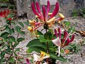 Квіти та бутони жимолості виду Lonicera Periclymenum.jpg