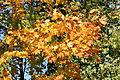 Кленовые листья в октябре.jpg