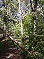Молодые дубы умирают из-за заводов Чебоксар и хим.завода в Новочебоксарске...и никто не убирает рощу от падших деревьев.jpg