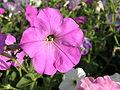 Растения в Седово 226.JPG