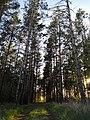 Сосновый лес Качкарка.jpg