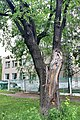 Ствол дуба-долгожителя на улице Коминтерна.jpg