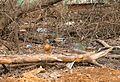 Утки - panoramio (5).jpg