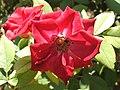 ורד2.jpg