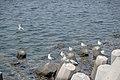 رفتار مرغان دریایی نوروزی یا یاعو در کشور عمان، شهر مسقط، ساحل دریای عمان - عکس مصطفی معراجی 28.jpg