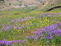 گلهاي وحشي - panoramio.jpg