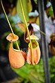 หม้อข้าวหม้อแกงลิง tropical pitcher plants Genus Nepenthes Photographed by Trisorn Triboon 14.jpg
