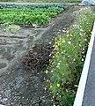 コスモスがあかしろきいろ - panoramio.jpg