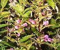 シオガマギク Pedicularis resupinata subsp. oppositifolia 0s2.JPG