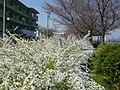 ユキヤナギ 石川河川公園にて Thunberg's meadowsweet 2010.3.27 - panoramio.jpg