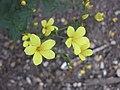 亞麻屬 Linum dolomiticum -牛津大學植物園 Oxford Botanic Garden- (9216069872).jpg