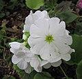 四季報春(鄂報春) Primula obconica -比利時國家植物園 Belgium National Botanic Garden- (9229859152).jpg