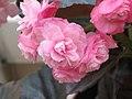 四季秋海棠-重瓣 Begonia Doublet Pink -香港公園 Hong Kong Park- (9173505086).jpg