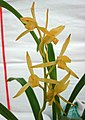 報歲金公主 Cymbidium sinense 'Gold Princess' -香港花展 Hong Kong Flower Show- (40318335514).jpg