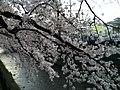 天神川の桜 - panoramio (1).jpg